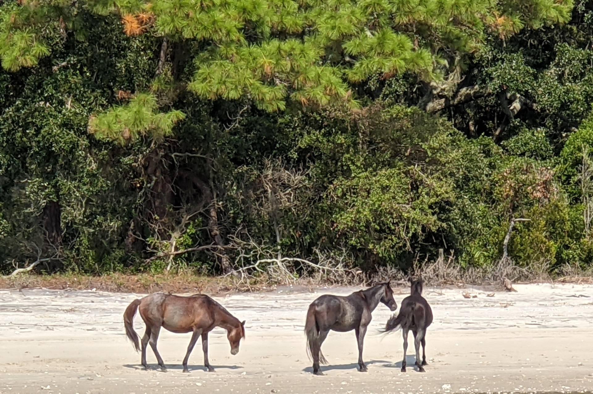Group of Cumberland Horses on a beach